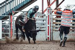 Free Bowden, Alberta, Canada, 26 July 2019 / Moments From The Bowden Daze, The Town`s Rodeo. Cow Riding, Wild Cow Running Around Royalty Free Stock Photos - 159245068