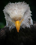 Bowed Eagle Stock Photography