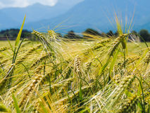 Bowed wheat close-up. Royalty Free Stock Photo