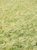 Bowed wheat field texture. Stock Photography