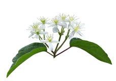 Bower-Wildflower der männlichen Jungfrau Lizenzfreie Stockfotos