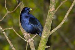 Bowerbird de cetim roxo fotos de stock