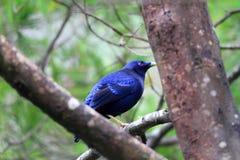 Bowerbird de satén Imagen de archivo libre de regalías