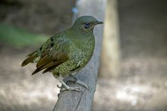 Bowerbird de satin femelle photos stock