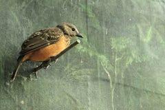 Bowerbird del fawn-breasted Immagine Stock Libera da Diritti