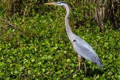 偷偷靠近一条大Bowfin鱼的一个伟大蓝色的苍鹭的巢的特写镜头射击在布拉索斯河弯死水  免版税库存图片