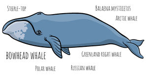 Bowhead or greenland whale Stock Photos