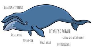 Bowhead lub Greenland wieloryb Fotografia Stock