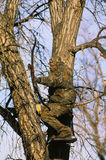 Bowhunter in Treestand Royalty Free Stock Photo
