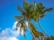 Bowing Palm trees against blue sky Royalty Free Stock Image