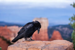 Bowing Raven Stock Image