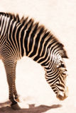Bowing Zebra. A zebra with it's head down Royalty Free Stock Image