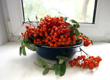 Bowl with Ashberries Stock Photos