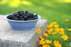 Bowl of Blackberries in the Darden Stock Photos