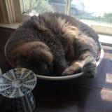 Bowl cat Royalty Free Stock Photo