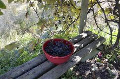 Bowl of Concord grapes. Bowl of freshly harvested Concord grapes sitting on a wooden bench under a homemade arbor Royalty Free Stock Photo