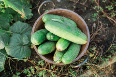 Bowl of Cucumbers Stock Images