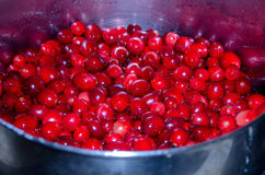 Bowl of fresh cranberries. A bowl of fresh red cranberries will soon be turned into cranberry sauce for thanksgiving dinner royalty free stock image