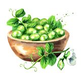 Bowl with fresh green peas. Watercolor hand drawn illustration, isolated on white background.  vector illustration
