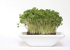 Bowl of Fresh Salad Cress Royalty Free Stock Images
