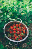 Bowl with freshly picked homegrown organic strawberries. In garden, selective focus royalty free stock photos