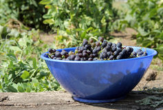 Bowl of grapes Royalty Free Stock Photography
