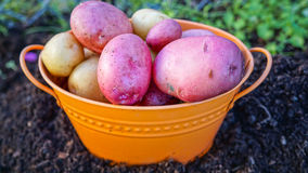 Bowl Harvested Potatoes Royalty Free Stock Images