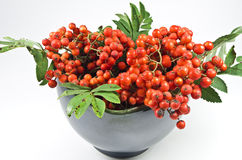 A bowl with mountain ash Royalty Free Stock Image