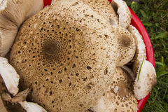 Bowl of Parasol Mushrooms Royalty Free Stock Photos