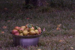 Bowl of pears. Sitting outside under the tree they were picked from royalty free stock photography