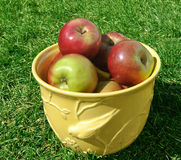 A bowl of ripe red apples in a sunny garden. Apples in a yellow bowl sitting on green grass Royalty Free Stock Image
