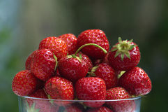 Bowl of ripe straberries in garden. Focus on a bowl of juicy ripe strawberries ready to eat in the garden stock photography