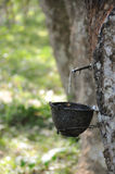 Bowl for rubber tapping. In Thailand royalty free stock images