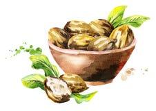 Bowl of shea nuts. Watercolor illustration. Bowl of shea nuts. Watercolor hand-drawn illustration vector illustration