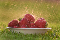 Bowl of strawberries in the rain. A bowl of red ripe strawberries sitting in the grass with rain splashing on them Stock Photo