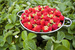 Bowl of strawberries with strawberry plants. Shiny silver bowl of ripe strawberries sitting among strawberry plants Stock Photos
