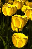 Bowls of light. Yellow tulips are filled with light in the early morning Stock Photos