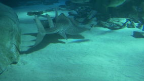 Bowmouth Guitarfish in Blue Sea. A bowmouth guitarfish  swimming at the bottom of the sea. The bowmouth guitarfish is also called the shark ray or mud skate stock video footage