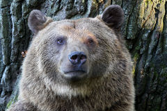 Bown bear Royalty Free Stock Image