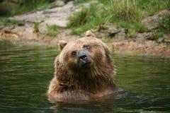 Bown bear Royalty Free Stock Photography