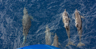 Bowriding Atlantic spotted dolphins, Stenella frontalis Stock Images