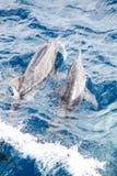 Bowriding rough toothed dolphins, Steno bredanensis Stock Photos