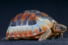 Bowsprit tortoise / Chersina angulata Stock Photo