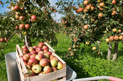 Box with apples. Apples in the box  in the garden Stock Photography
