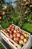 Box with apples. Apples in the box  in the garden Royalty Free Stock Photography