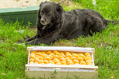 Box with apricots and black dog Royalty Free Stock Photo