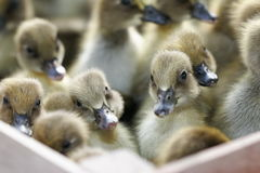 Box of Baby Ducks. A box of small brown baby ducklings Royalty Free Stock Photography