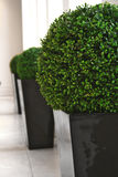 Box balls. Ball shaped box hedge in containers stock image