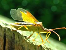 Box Bug with wings open. stock photography