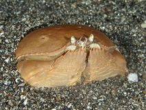 Box crab Stock Images